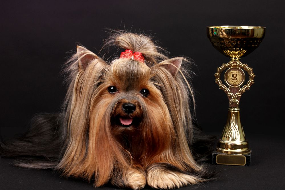 Steckbrief Yorkshire Terrier