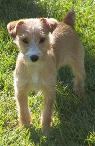 Yorkshire Terrier Jack Russell Mix Mischling