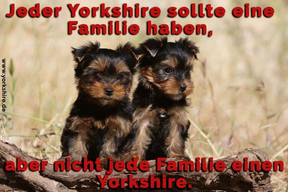 zwei Yorkshire Terrier am Gras
